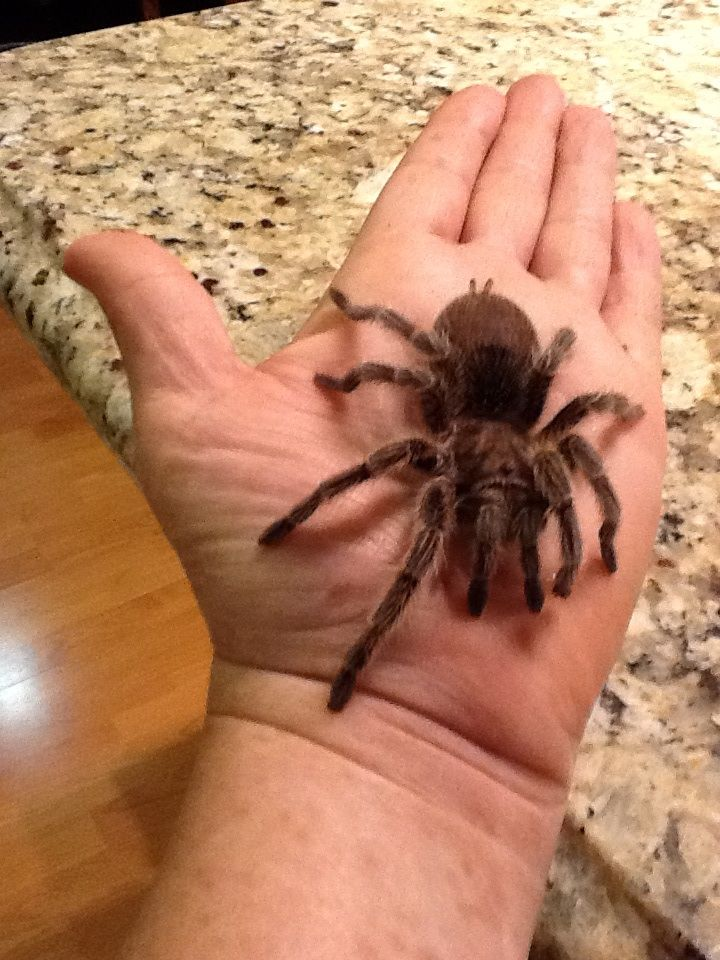 Here is my second Chilean rose tarantula. I'm thinking it is a male but can not tell at this time. It was giving to me on Thanksgiving of this year 2013.. He was a rescue as well as my bigger Chilean.