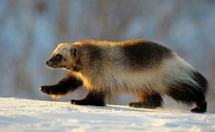 Wolverine at Kronotsky Nature Reserve, Kamchatka, Russia - Pixdaus
