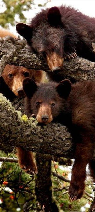 Brown bears hanging out in a tree.