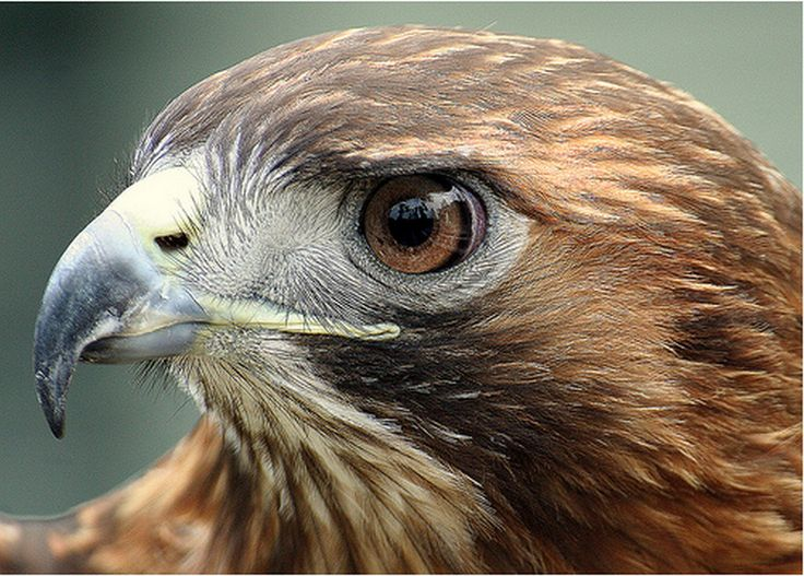red tail hawk tattoo - Google Search