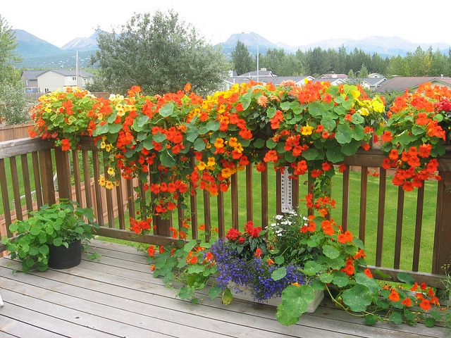 Nasturtiums in boxes on deck railing