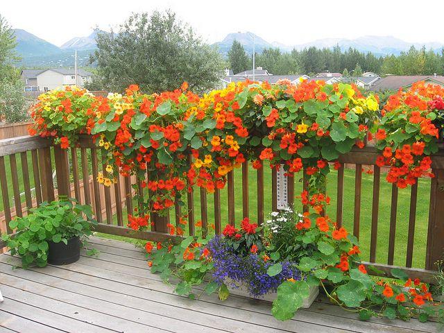 Des capucines: pour décorer la terrasse et... votre assiette.
