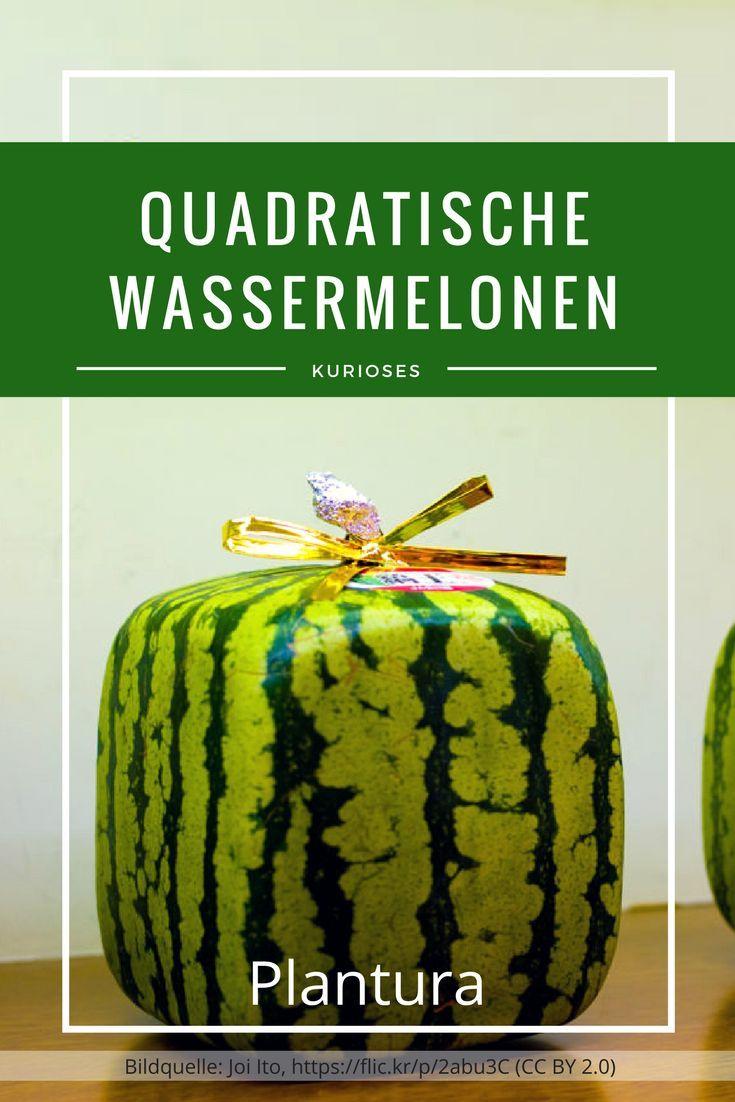 Prächtig Quadratische Wassermelone: teure Kuriosität aus Japan &LW_99
