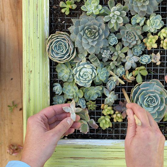 Tuck in larger plants first, followed by smaller ones. Plant as close together as the grid allows. Depending on plant size, not every square will be planted. After planting, you may see hints of the wire, but as the succulents grow, they'll close the gaps