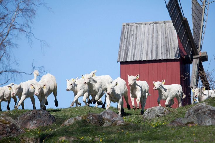 A large group of calves run past the windmill at the traditional annual cow release at Bolstaholm Farm near Geta in the Åland archipelago, Finland, May 1 2012.