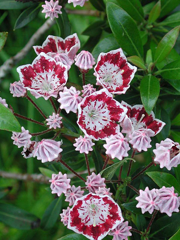 kalmia  Perrenial  Bloom: late Spring; Color: white and pink or pink or purple  Hardy Zone: 3-9