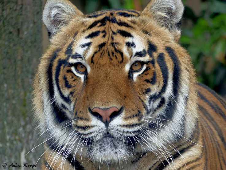Tiger(close up) - Zoo Amneville