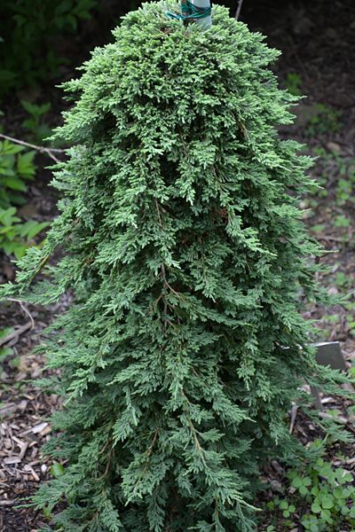 192 besten conifers bilder auf pinterest immergr ner for Pflanzen evergreen