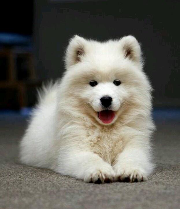The cutest puppies ever :) #samoyed | #Samoyed | Pinterest ...