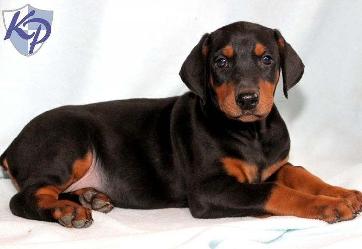 doberman puppies for sale | Coby: Doberman Pinscher Puppy for sale in PA