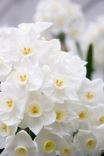 Ahhhh, the scent of Narcissus. They are in season now. One of life's simple pleasures is sniffing a fragrant bouquet and Narcissus always delivers strong scent.