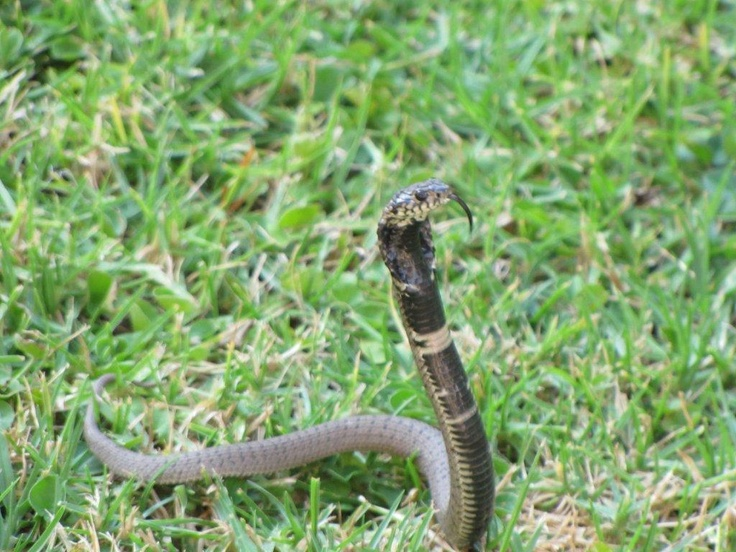 This is the poisonas snake (Rinkels) my Siamese cat cought  in ouer house and saved us!