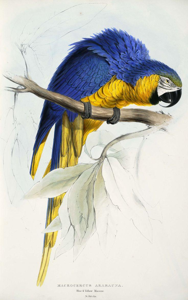 Ara_ararauna_-Macrocercus_ararauna_Blue_&_yellow_Maccaw_-by_Edward_Lear_1812-1888.jpg (2645×4213)