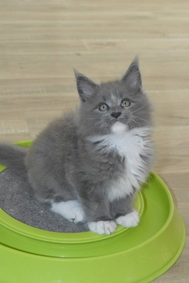 Grey and white Maine Coon kitten