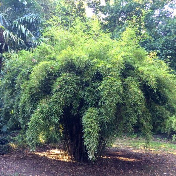 Petit bambou : Fargesia robusta