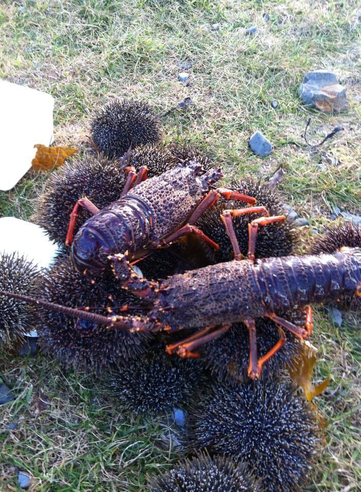 Crayfish, Kina Sea Urchin, from the Hokianga Harbour..Ohhh don't ya just love these.....