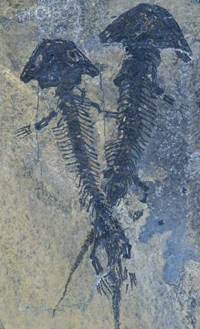 Fossil -  Permian Period, 260 mya
