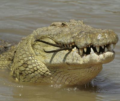 Nile crocodiles are blamed for the deaths of roughly 200 humans every year. The animal can grow to be around 20 feet (6.1 meters) long and weigh 11,650 pounds (5,284 kilograms). See an animal that may want to be on the lookout for these crocs next.