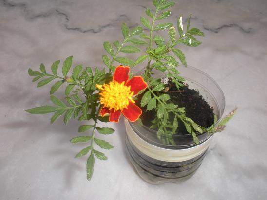 Comment faire pousser des oeillets d'inde