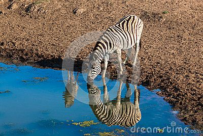 Zebras mirror reflections and calf on the water drinking in morning light wildlife park reserve.