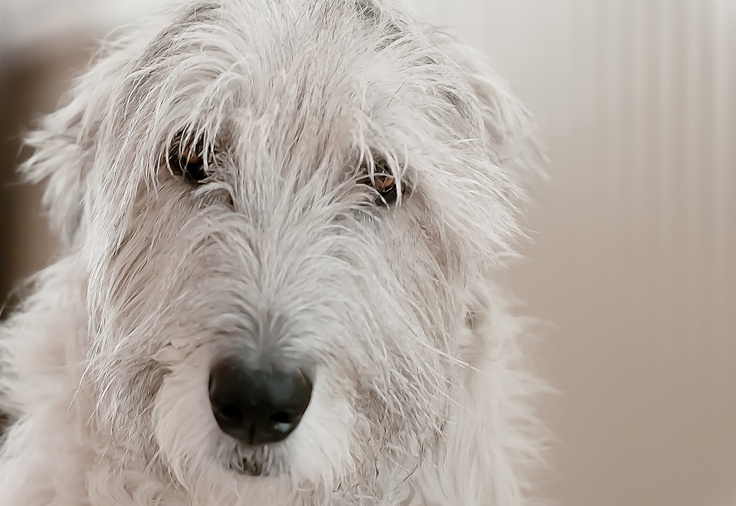 Ida the Irish Wolfhound