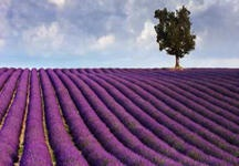 lavender, one of the most important flowers in our garden    la lavanda, uno dei fiori più presenti nel nostro giardino    (picture isn't from Acquaviva - la foto non è di Acquaviva)