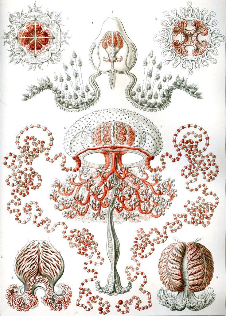 Bellas ilustraciones de Ernst Haeckel & # 8217; s Die Natur Als Kunsterlin 1913