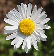 When white Daisies are used for wedding flowers they suggest innocence