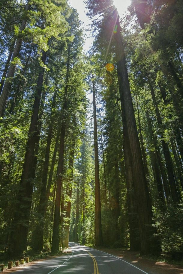 Redwoods on the Avenue of Giants in Northern California Sequoia sempervirens