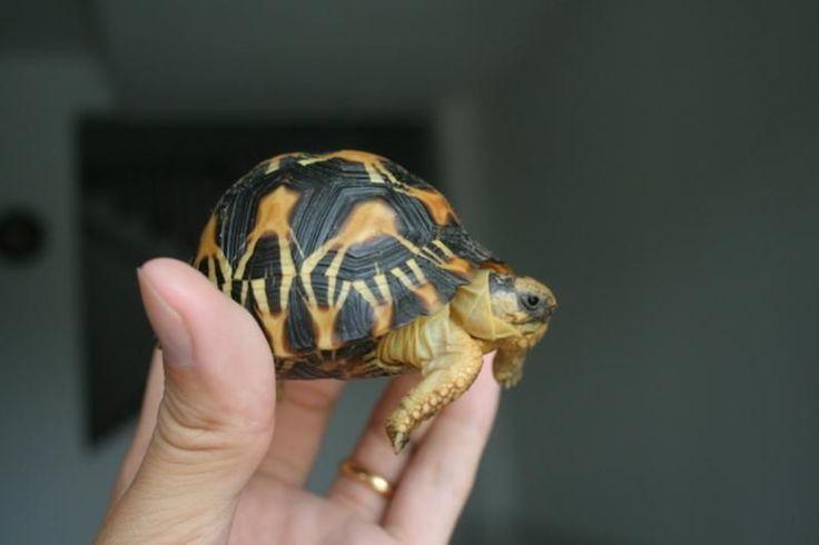 Radiated-Tortoise.jpg