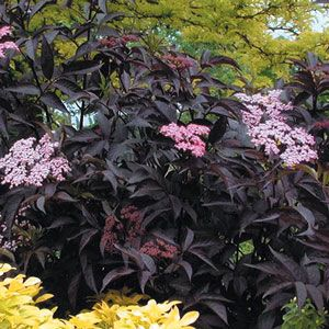 Photo de  Sambucus nigra Black Beauty®, Sureau noir