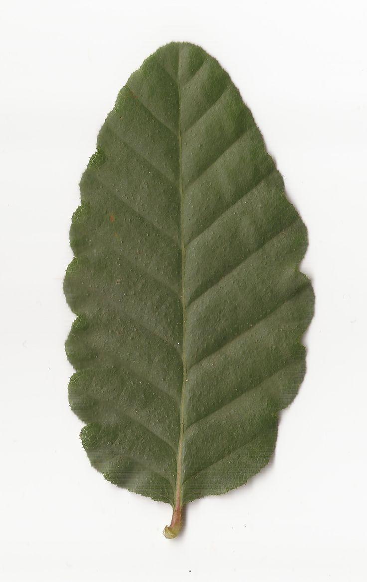 nothofagus macrocarpa