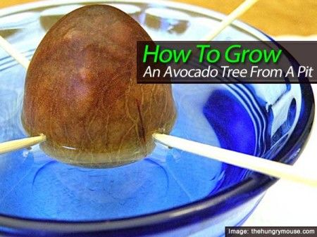 how to grow an avocado tree from a pit indoors