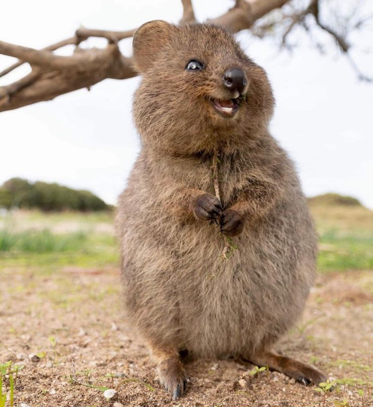 how can you not love the quokka? in 2020 | Happy animals ...
