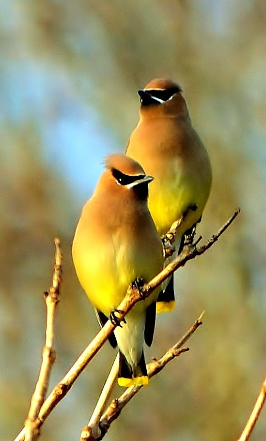 The Cedar Waxwing is a member of the family Bombycillidae or waxwing family of…