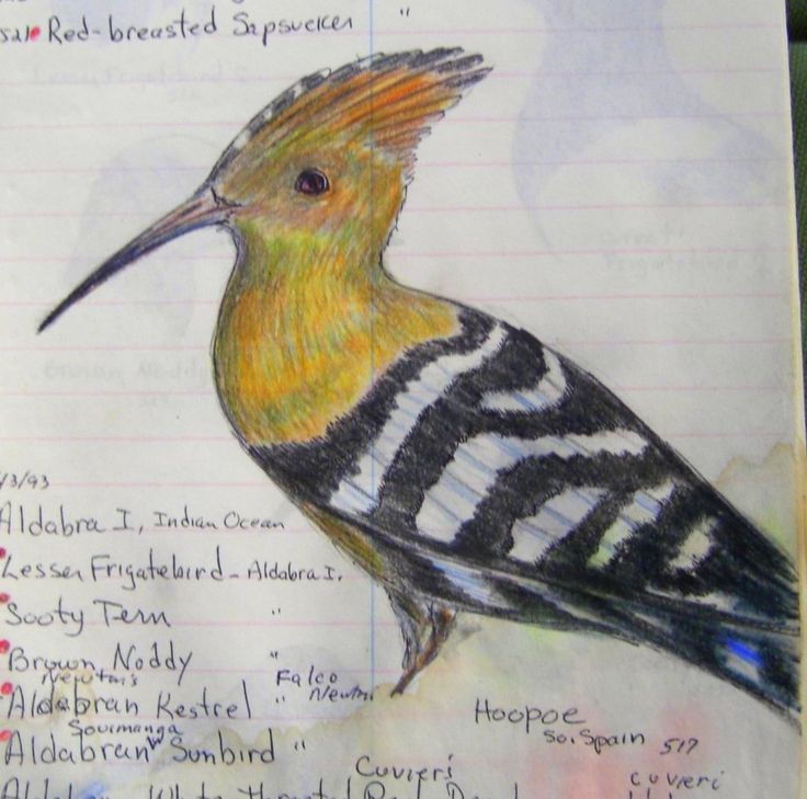 Hoopoe, Southern Spain - color pencil & ballpoint from bird notebook, 1993