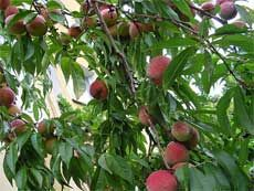 Peach Tree Care: How To Grow Peaches:  Growing peach trees are self-fruitful which means that pollen from the same flower or variety can pollinate the tree and produce fruit.