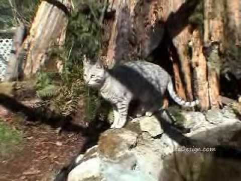 Outdoor Cat Habitat for my Savannah Cats and Bengals Cat enclosure - YouTube