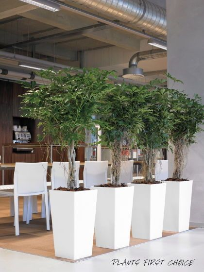 26 Best Barrier Plants In Offices Images On Pinterest