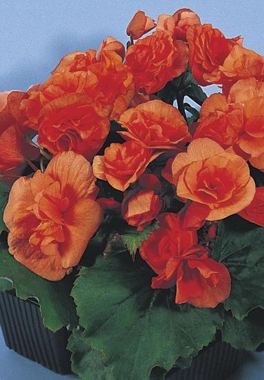 17 best images about begonias on pinterest flower angel and farms. Black Bedroom Furniture Sets. Home Design Ideas