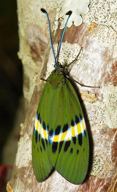 Zygaenid Day-Flying Moth by John Horstman