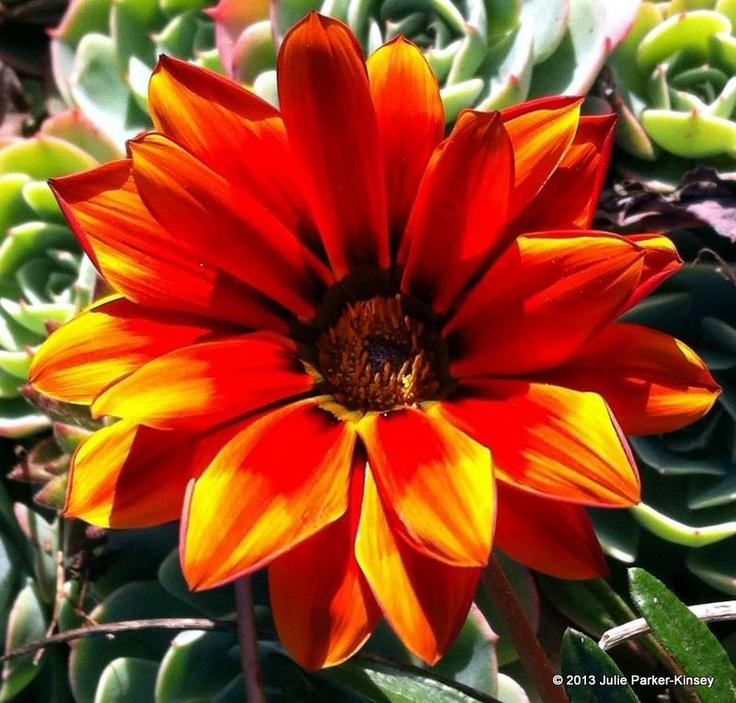 Robust and bold! #newzealand #flowers #orange