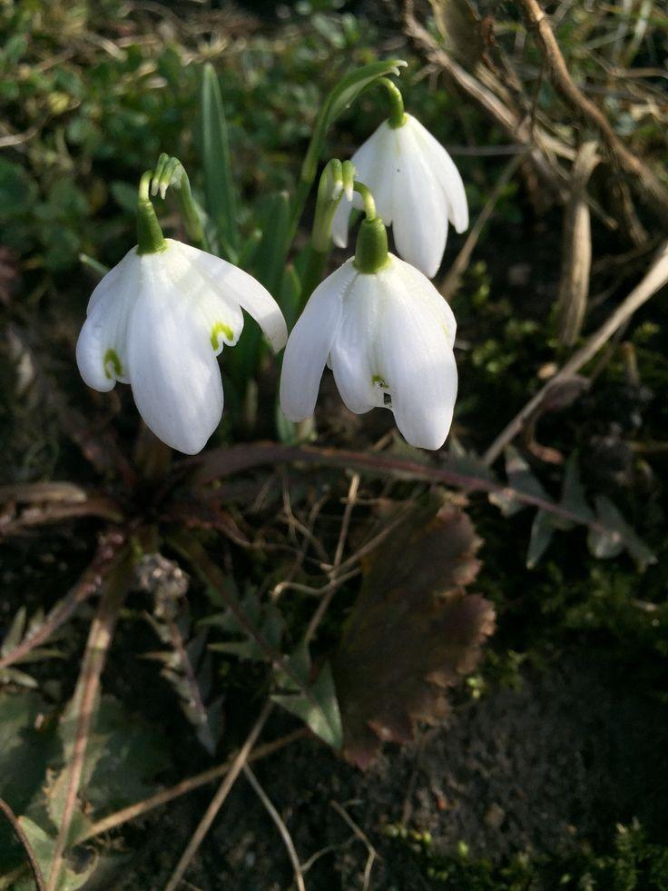 "Galanthus nivalis ""Flore pleno"""