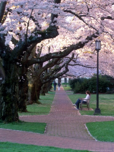Cherry Blooms at the University of Washington, Seattle, Washington