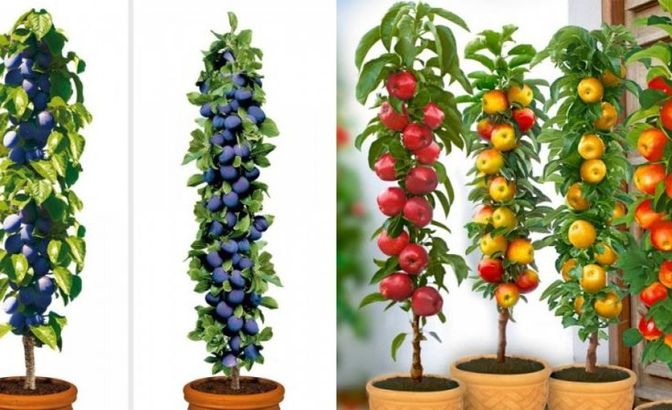 Columnar Fruit Trees: Ideal for growing in tubs on patios or balconies