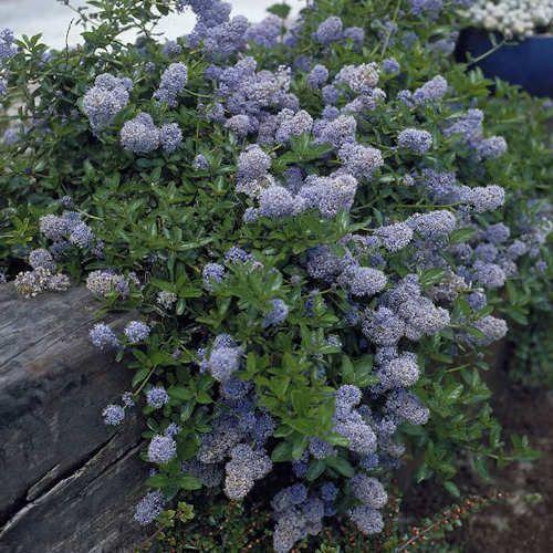 Ceanothus repens c anothe rampant jeune plante en godet - Arbustes fleurs bleues feuillage persistant ...