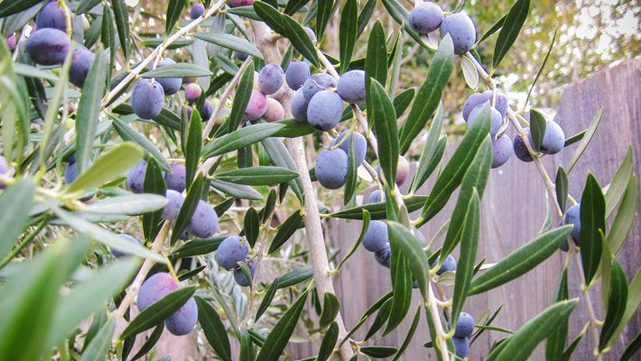 For the first time in seven years, my olive tree is loaded with olives! My enthusiasm has turned into motivation, with full intent to process my crop. If I'm lucky, I'll be savoring my homegrown olives in a few months.