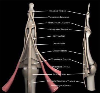 Finger mri anatomy