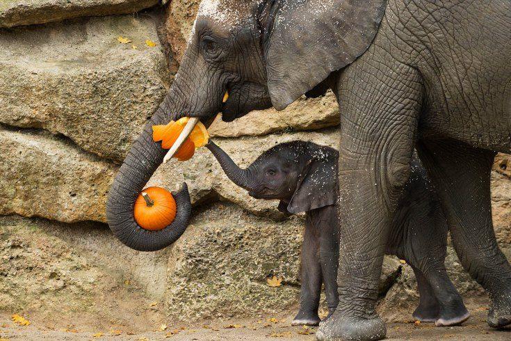 Oct. 28, 2013. Elephants eating a pumpkin ahead of Halloween at Schoenbrunn Zoo in Vienna, Austria.