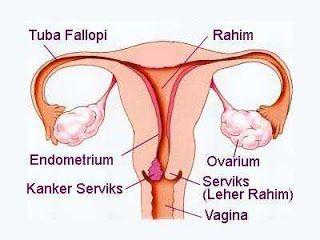 tongkat madura: mengenal serviks sebagai organ reproduksi pada wan...
